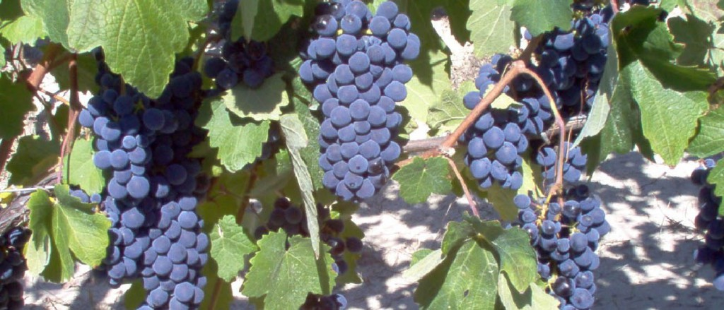 Ripe Barbera grapes